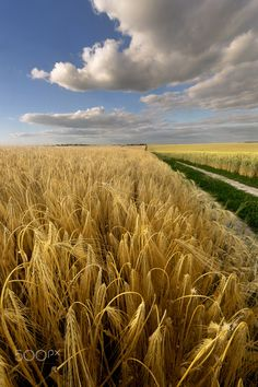 The wheat field at sunset - Rivne region Ukraine