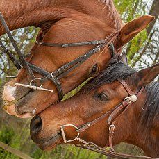Awe, horse love face to face. Horses in a sweet nuzzle.