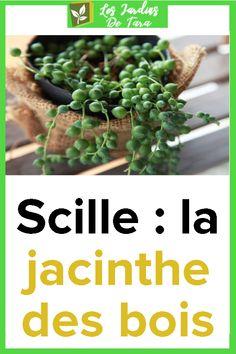 Scille: la jacinthe des bois