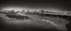 Nick Brandt Photography, ZEBRAS CROSSING RIVER, MAASAI MARA, 2006