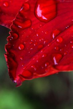 A Little Rain Must Fall - ACEO (mini print) - Rain drops caught on the lacy petal of a red lily -artist trading card 2.5x3.5 photo print