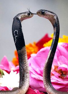 Two cobras in the celebration of Nagpanchami. Pretty Snakes, Cool Snakes, Beautiful Snakes, Les Reptiles, Reptiles And Amphibians, Kobra, Cute Snake, Snake Venom, Snake Art