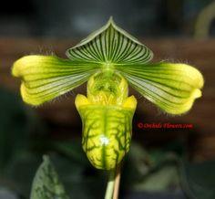 Lady Slipper Orchid Paphiopedilum venustum var. alba