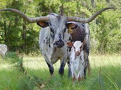 Y4 Longhorns - Registered Texas Longhorn Cattle