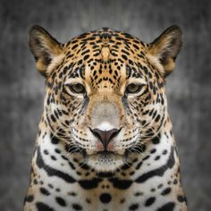 Find Jaguar stock images and royalty free photos in HD. Explore millions of stock photos, images, illustrations, and vectors in the Shutterstock creative collection. of new pictures added daily. Jaguar Pictures, Face Pictures, Leopard Pictures, Animal Pictures, Jaguar Tier, What Animal Are You, Jaguar Tattoo, Jaguar Animal, Rainforest Animals