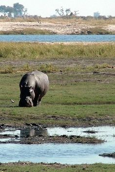 A hippo grazing at the Chobe National Park, Botswana African Animals, African Safari, Chobe National Park, National Parks, Exotic Pets, Exotic Animals, Out Of Africa, Game Reserve, Animals Of The World