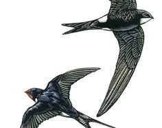 Bird illustration - Swift and Swallow - bird art, print of original scratchboard artwork - A4