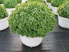 Egmont Seed Company Ltd : Herbs - Accessories Flowers Fruit Fuseables Herbs NZ Natives Seed Tapes & Mats Vegetables , buy seeds, vegetable seeds, flower seeds, online ordering seeds Herb Garden, Vegetable Garden, Garden Plants, Potted Plants, Architectural Plants, Plants Online, Garden Inspiration, Container Gardening, Perennials