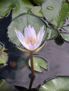 Flower, Bambouseraie, Cévennes