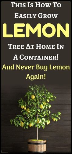 How to Grow a Lemon Tree from Seed Easily in Your Own Home | Wellness Blog Learn how to properly plant and care for you lemon tree! When life gives you lemons, grow trees! If you've ever seen a flowering lemon tree... Veg Garden, Easy Garden, Garden Ideas, Potted Garden, Gardening For Beginners, Gardening Tips, Indoor Gardening, Indoor Plants, Health And Nutrition