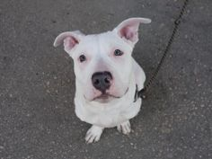 Brooklyn Center   KING - A0993532  MALE, WHITE / GRAY, PIT BULL MIX, 1 yr STRAY - ONHOLDHERE, HOLD FOR ID Reason ABANDON  Intake condition NONE Intake Date 03/09/2014, From NY 11432, DueOut Date 03/16/2014,  https://www.facebook.com/photo.php?fbid=770242452988636&set=a.617941078218775.1073741869.152876678058553&type=3&theater
