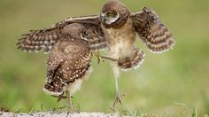 Playing may seem like a frivolous pastime, but it can serve an important purpose by enhancing motor and sensory skills and social behaviors. Young Burrowing Owls by Barb D'Arpino via Birdshare.