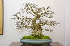 Korean hornbeam display | Bonsai Tonight