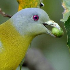 Yellow-footed Green-pigeon (Treron phoenicoptera) eating figs