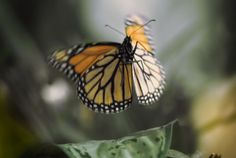 """Yes, the monarch is Minnesota's state butterfly. But the North Star state has another tie to this bit of winged royalty. A 40-year quest to learn the southern terminus of one of nature's longest migrations started with a Minnesota schoolkid who became a citizen scientist. When """"Flight of the Butterflies"""" opens at the Science Museum of Minnesota's iMax theater Friday, viewers will get a 90-foot tall look at the odyssey of the monarch. In addition, as the trailer shows, they'll follow the path…"""