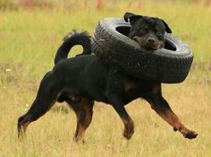 """Check out our web site for additional details on """"Rottweiler puppies"""". It is actually an excellent location to read more. Rottweiler Pictures, Rottweiler Love, Rottweiler Puppies, Big Dogs, I Love Dogs, Cute Dogs, Dogs And Puppies, Corgi Puppies, Chihuahua Dogs"""
