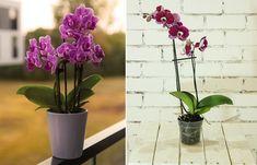 Orkide saksısı seçerken dikkat edilmesi gereken birkaç nokta var.Orkide saksısı nasıl olmalı? Orkide saksısı ne zaman değiştirilir?