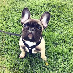 Archer, the French Bulldog Puppy, so Handsome.