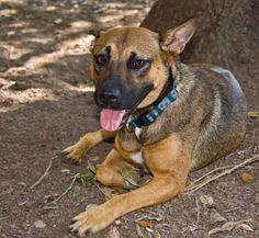 Batina Shepherd Mix • Adult • Female • Medium Cinderella Pet Rescue, Inc. Penitas, TX