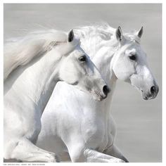 'Winter Gallop' - Two white horses All The Pretty Horses, Beautiful Horses, Animals Beautiful, Horse Photos, Horse Pictures, Majestic Horse, Tier Fotos, White Horses, Detail Art
