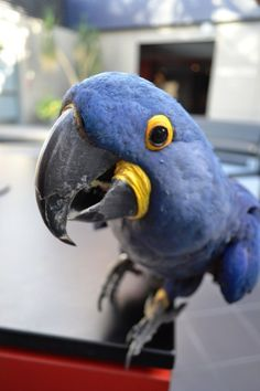 That beak is not just for show! Hyacinth macaws use their beaks to crack through the hardest nuts in the world, the Brazil nut!