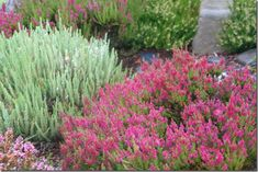 Calluna - fall blooming heathers - 'Velvet Fascination' and 'Dark Beauty'