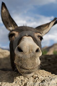 """12. Balaam answered the donkey, """"You have made a fool of me! If only I had a sword in my hand, I would kill you right now."""" The donkey said to Balaam, """"Am I not your own donkey, which you have always ridden, to this day? Have I been in the habit of doing this to you? """"No, he said."""" Numbers 22:29-30"""