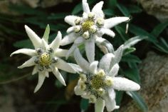 E is for Edelweiss