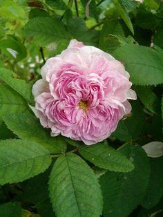 'Gloire de France' (1828) Gallica/Centifolia rose | Les Jardins de Kerusten