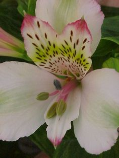 I love these white alstroemeria with pink tips and the designs on them. They are unique and beautiful