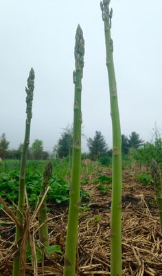 Towering asparagus in our garden popping with life; let the pickling begin!