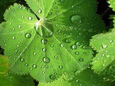 """Kontryhel je vytrvalá rostlina, která se řadí do čeledi Rosaceae, jež zahrnuje více než 300 rostlinných druhů v Africe, Evropě, Asii a Americe. Kontryhel nebo-li Alchemilla vulgaris se používá k léčbě různých zdravotních problémů, je však známý především jako """"ženská bylina"""", která léčí celou řadu ženských potíží. Korn, Watermelon, Plant Leaves, Herbs, Fruit, Plants, Gardening, Fitness, Lawn And Garden"""
