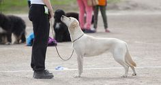 Train Your Dog To Look At You  --- CESAR Millan  ---  1 Command that Controls 90% of BAD behaviors