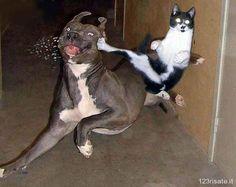Gatto karateca stende un pitbull #gatti #funnycats #animalidivertenti #animali