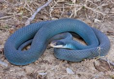 Colouber constrictor foxii Adult from southeast Michigan. Dog Drawing Simple, Snake Enclosure, Blue Jay Way, Snake Photos, Reptile Room, Cute Reptiles, Corn Snake, Animal Photography, Cute Animals
