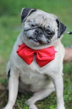 Monkie's story is heartwrenching! She has defied the odds and in our hearts forever. This is the story of Monkie, the unwanted pug that found a loving home! Puggle Puppies, Dogs And Puppies, Doggies, Terrier Puppies, Pug Accessories, Cute Pugs, Funny Pugs, Puppy Care, Pug Love