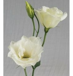 Flower Lisianthus Cinderella Ivory 10 Pelleted Seeds by David's Garden Seeds (vob) by David's Garden Seeds. $5.94. Thick, straight stems support large, full flowers. Germination rate: 85%. Fully double, creamy white. Best for summer and early fall production. Days to bloom: about 150 to 180. Fully double, creamy white. Thick, straight stems support large, full flowers. Best for summer and early fall production. Grow to a height of 24 to 36 inches.