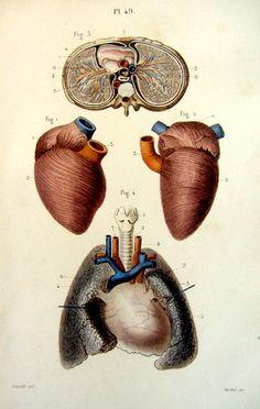 1852 Antique human anatomy  print vintage by LyraNebulaPrints, $27.50