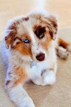 according to a Native American myth, dogs with different colored eyes can see both heaven and earth ~~ Gorgeous red merle Australian Shepherd Beautiful Dogs, Animals Beautiful, Gorgeous Eyes, Pretty Eyes, Cute Puppies, Cute Dogs, Red Merle Australian Shepherd, Baby Animals, Cute Animals