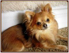 Google Afbeeldingen resultaat voor http://www.yourpetsuniverse.com/wp-content/uploads/2010/02/long-haired-chihuahua-300x234.jpg