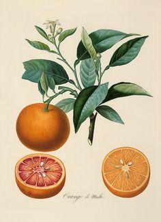 Google Image Result for http://la-vibe.com/images/vintage/botanical/large/83_ORNG1.jpg