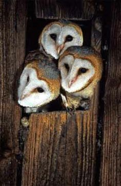 The beautiful sweet faces of barn owl. My dream story: http://notesalongthepath.com/2013/12/01/dreaming-with-barn-owl/