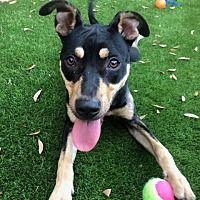 Dallas Tx Doberman Pinscher Meet Jaina A Pet For Adoption