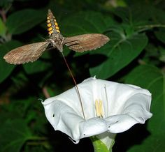 """""""Sphinx moths, hummingbirds, and a bat are the only creatures adapted to hover while sipping nectar. Sphinx moths are sometimes mistaken for nocturnal humming birds."""""""