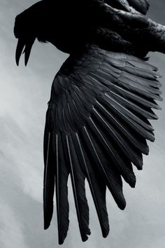 Corvid | Crow | Raven | La Corneille | Il Corvo | 烏 | El Cuervo | ворона | 乌鸦 |