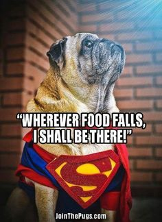 Pedie is the fastest pug in the land when there is food involved!