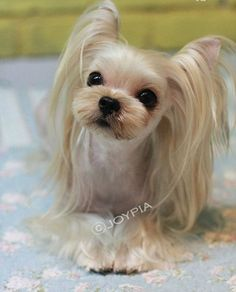 Everything I adore about the Feisty Yorkshire Terrier Perros Yorkshire Terrier, Yorkshire Terrier Haircut, Raza Yorkshire, Dog Grooming Styles, Pet Grooming, Yorkies, Maltipoo, Yorkie Cuts, Yorkie Hairstyles