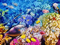 71 top indonesian coral reefs images coral reefs diving marine life rh pinterest com