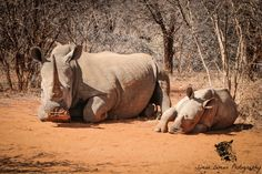 rhino: Mother White rhino with baby Rhino, South Africa. Baby Rhino, Water Buffalo, Big Animals, Big 5, Rhinos, Beautiful Moments, Wildlife Photography, Conservation, Really Cool Stuff