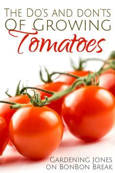 Great tips for growing tomatoes. #gardening #tomatoes #dan330 http://livedan330.com/2015/04/06/dos-and-donts-of-growing-tomatoes/